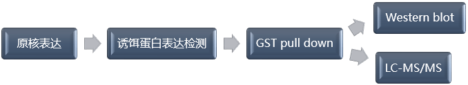 GST Pull-down技术流程-辉骏生物.png